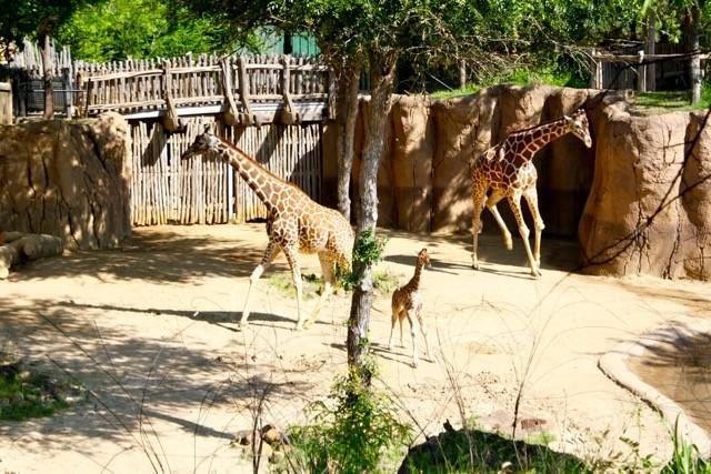 Kipenzi the Giraffe